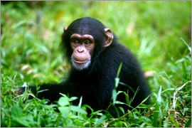 Little Chimpanzee