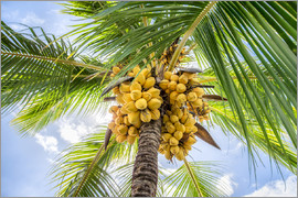 Jan Christopher Becke - Coconut trees with coconuts