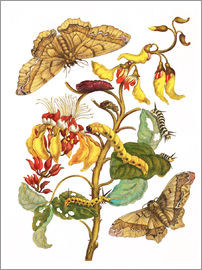 Maria Sibylla Merian - Coral tree and silkworm