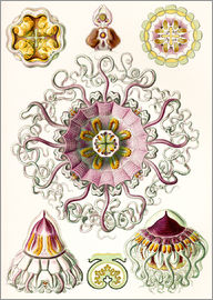 Ernst Haeckel - Kronenqualle, Periphylla periphylla