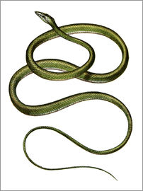 German School - Long-nosed Tree Snake