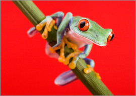 Tree frog on red