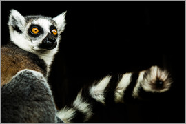 John Alexander - Lemur (Lemuroidea), United Kingdom, Europe