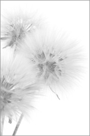 Fluffy dandelions on white background