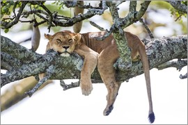 PhotoStock-Israel - Lioness, resting