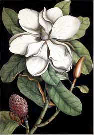 Mark Catesby - Lorbeerbaum