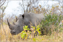 Fabio Lamanna - Rhino grazing in the bush, Kruger National Park, South Africa