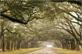 Joanne Wells - Foggy alley under a canopy of oak trees