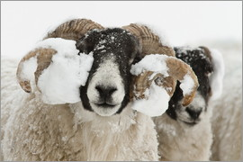 Ann & Steve Toon - Northumberland blackface sheep in snow, Tarset, Hexham, Northumberland, UK