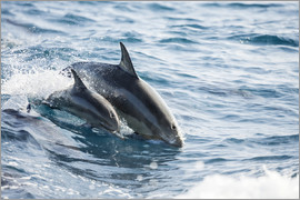 Dave Fleetham - Eastern Pacific dolphin beside his mother