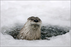 Ronald Wittek - Otter from the ice
