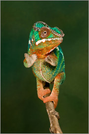 David Northcott - Rainbow Panther Chameleon