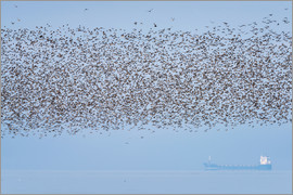 Matthew Cattell - Part of 60000 birds including Knot (Calidris canutus) at Snettisham RSPB flying over a tanker off th