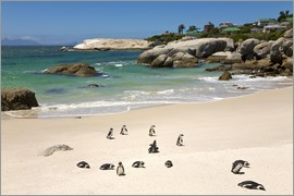 Paul Thompson - Penguins at Boulders Beach