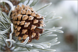 Charles Tribbey - Pine cone in the winter