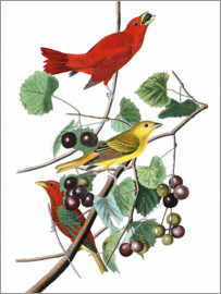 John James Audubon - Piranga rubra