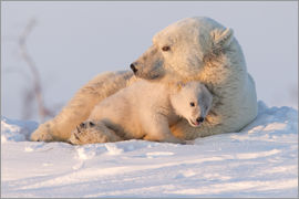 David Jenkins - Polar bear (Ursus maritimus) and cub, Wapusk National Park, Churchill, Hudson Bay, Manitoba, Canada,