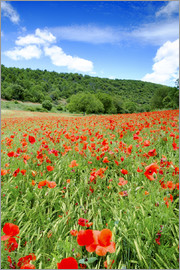 Alex Robinson - Poppy fields near Covarrubias, Castile and Leon, Spain, Europe