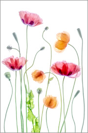 Mandy Disher - Poppy dance