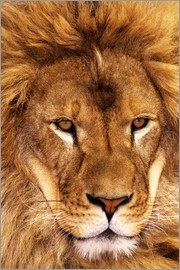 Dave Welling - Portrait of African lion