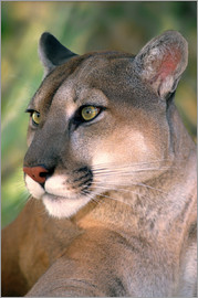Jaynes Gallery - USA, California, Los Angeles County. Portrait of mountain lion or cougar at Wildlife Waystation resc