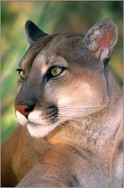 Dave Welling - Portrait of mountain lion or cougar at Wildlife Waystation rescue facility
