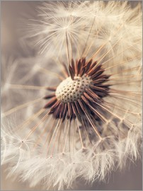 Julia Delgado - Dandelion closeup nature