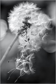 Julia Delgado - Dandelion lost his seeds