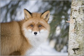 P. Marazzi - Red fox in the snow