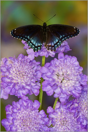 Darrell Gulin - Red-Spotted Purple Butterfly, Limenitis astyanax