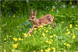Gérard Lacz - Roe Deer fawn running in flower meadow, Normandy