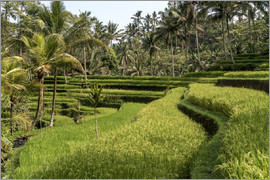 Peter Schickert - Bali  rice terrace