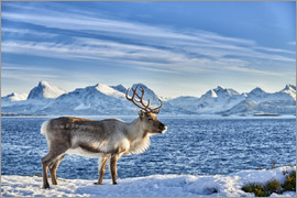Jürgen Ritterbach - Reindeer in snow covered landscape at sea