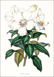 Miss Sowerby - Rhododendron calophyllum