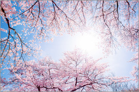 Jan Christopher Becke - pink cherry blossom in spring with backlight and blue sky