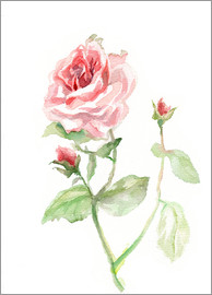Verbrugge Watercolor - Rosa Rose