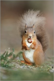 Duncan Shaw - Red squirrel eating a hazel nut
