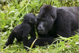 Uganda, Bwindi Impenetrable National Park, Infant Mountain Gorilla (Gorilla gorilla beringei) leans