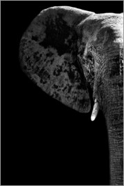 Philippe HUGONNARD - Safari Profil Collection - Elephant Black Edition III