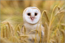 Ann & Steve Toon - Barn owl in wheat field