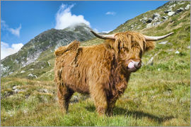 Olaf Protze - Scottish Highland Cattle