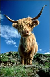 Duncan Usher - Scottish Highland Cattle, Scotland