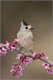 Black-crested Titmouse, Baeolophus atricristatus, adult perched on branch of blooming Eastern redbud