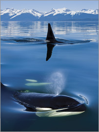 John Hyde - Whales in front of the Range Mountains