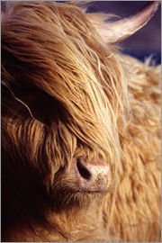 Louise Murray - Scottish highland cow