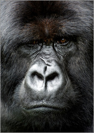 Matt Frost - Silverback gorilla looking intensely, in the Volcanoes National Park, Rwanda, Africa