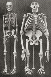 Ken Welsh - Skeletons Of Man and Gorilla