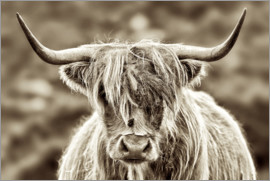 imageBROKER - Highland Cattle