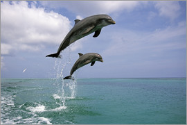 Tom Soucek - Pair Of Bottle Nose Dolphins Jumping Roatan Honduras Summer