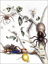 Maria Sibylla Merian - Various Arachnids from South America